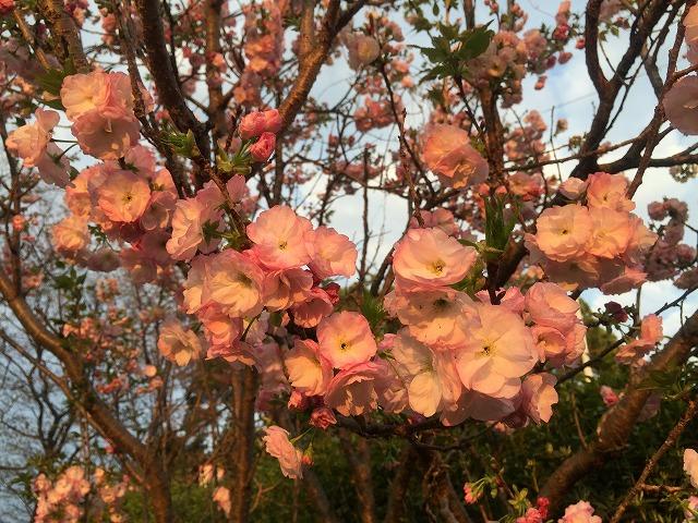 比治山公園の八重桜