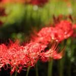 秋の花を訪ねて~ヒガンバナ~