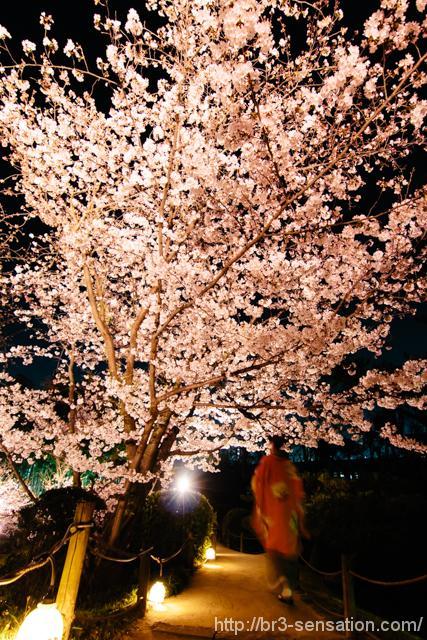 広島 縮景園の夜桜特別開園に行って来ました