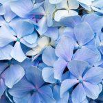 雨だ。紫陽花を見に行こう