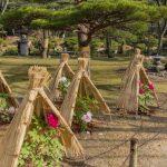 冬牡丹の雪囲い(広島市縮景園)